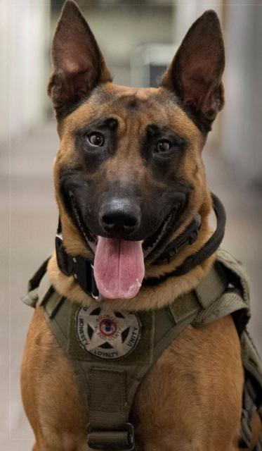 Brown and Black dog with Sheriffs Office vest
