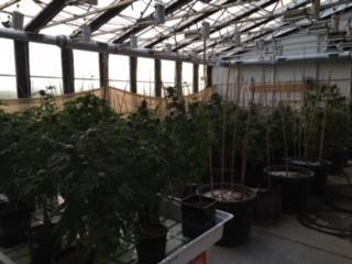 Law Enforcement Executes Search Warrant on Large Illegal Marijuana